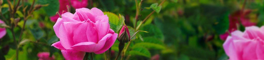 Odeurs de roses